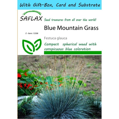 SAFLAX Gift Set - Blue Mountain Grass - Festuca glauca - 50 seeds - With gift box, card, label and potting substrate