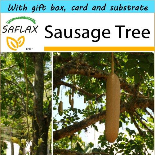 SAFLAX Gift Set - Sausage Tree - Kigelia - 10 seeds