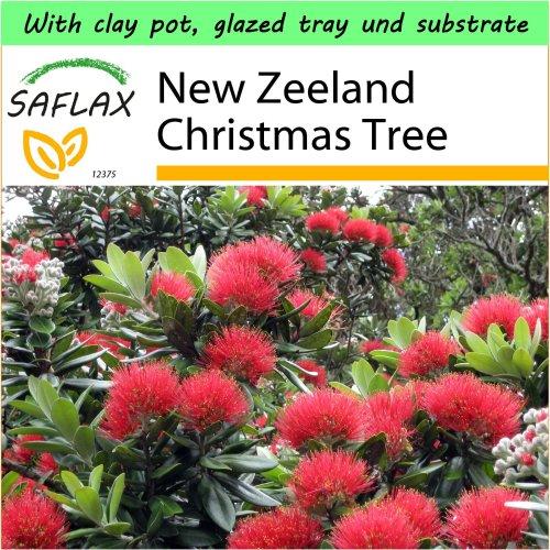 SAFLAX Garden to Go - New Zeeland Christmas Tree - Metrosideros - 300 seeds