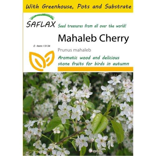 Saflax Potting Set - Mahaleb Cherry - Prunus Mahaleb - 30 Seeds - with Mini Greenhouse, Potting Substrate and 2 Pots