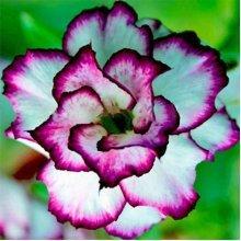 10Pcs Adenium Obesum Seeds Balcony Flowers Rainbow Desert Rose Seeds