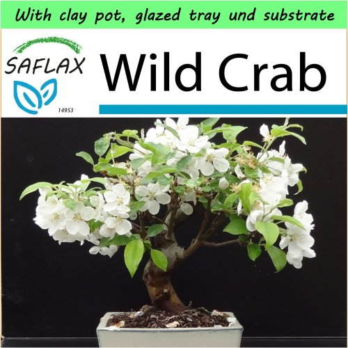 SAFLAX Garden to Go - Bonsai - Wild Crab - Malus - 30 seeds