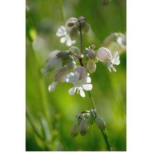 Wild Flower - Bladder Campion - Silene Vulgaris - 500 Seeds