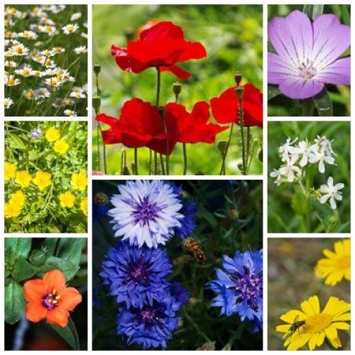 RP Seeds British Native Wildflower Seeds -Traditional Cornfield Mix-2g