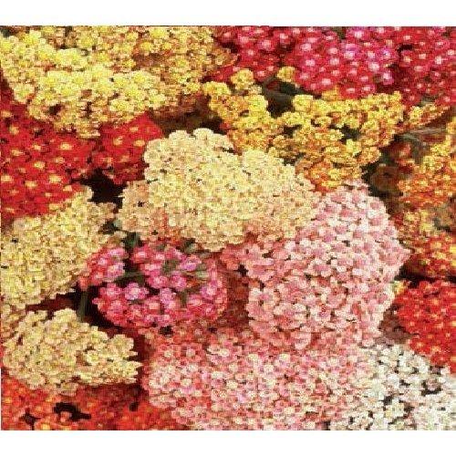 Flower - Achillea Millefolium - Summer Berries Mixed - 50 Seeds