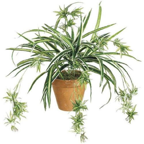 34 Inch Spider Plant x80 - Green and White - Qty of 12