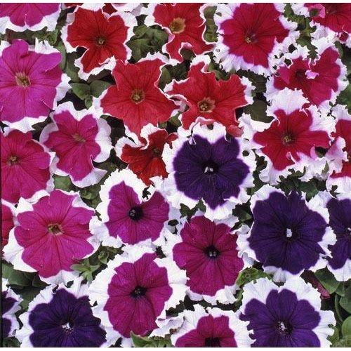 Flower - Petunia - Express Ice Mixed F1 - 50 Seeds