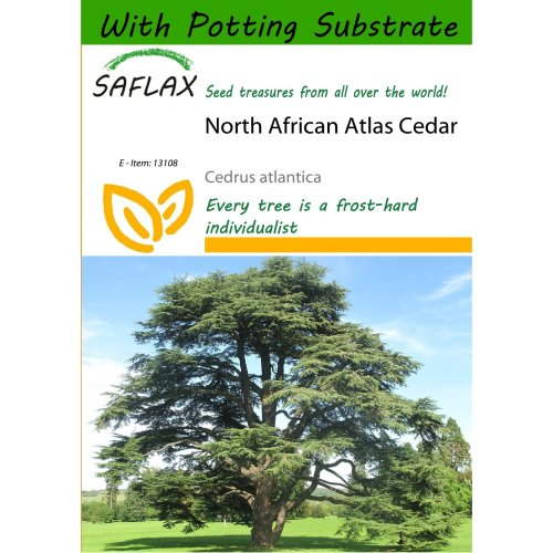 Saflax  - North African Atlas Cedar - Cedrus Atlantica - 20 Seeds - with Potting Substrate for Better Cultivation