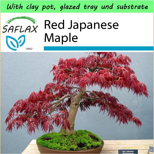 SAFLAX Garden to Go - Bonsai - Red Japanese Maple - Acer - 20 seeds