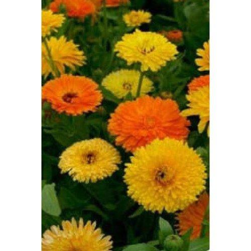 Flower - Calendula Officinalis - Pot Marigold - Pacific Beauty Mix - 1000 Seeds