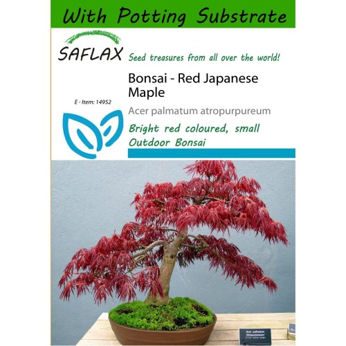 Saflax  - Bonsai - Red Japanese Maple - Acer Palmatum Atropurpureum - 20 Seeds - with Potting Substrate for Better Cultivation