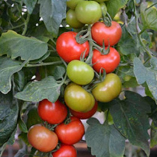 SUTTONS blight resistant tomato F1 Crimson Crush  10 SEEDS