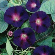 Flower - Morning Glory -  Ipomoea - Star of Yelta - 20 Seeds